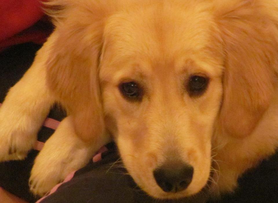 Sydney lap dog